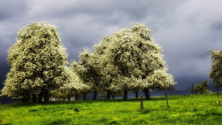 blossoming trees in a green meadow before a storm - meadow, clouds, storm, green, blossom, trees