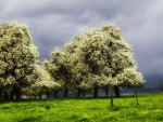 blossoming trees in a green meadow before a storm