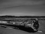 Log at Iona  Beach  Vancouver