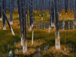 Aftermath of a forest fire in Yellowstone National Park Wyoming United States