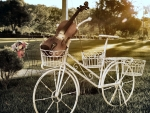 Violin in Bicycle Basket f