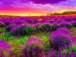 Purple spring sunset