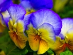 Lovely Pansies