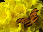 ✿⊱•╮Daffodils with Butterfly╭•⊰✿