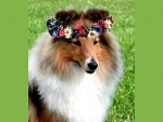 Spring collie for Elaine