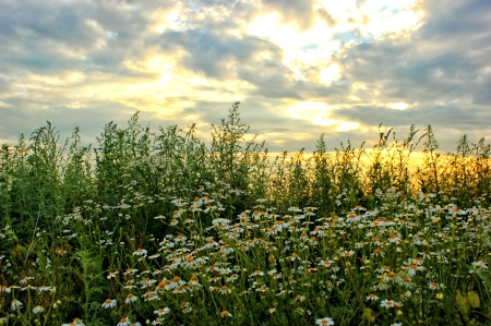 Camomiles - Nature, Flowers, Field, Camomiles