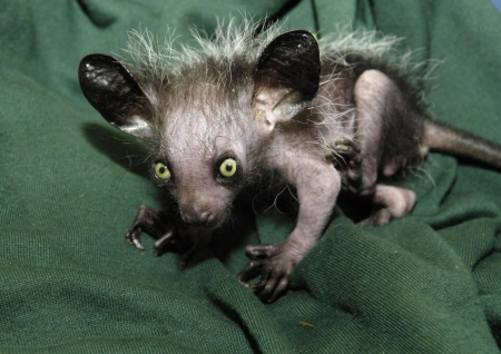 Aye Aye Lemur from Madasgascar - big ears, primate, yellow eyes, grey body
