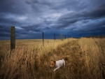 dog in a wheat field under stormy skies