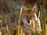 Coyote in Black Canyon of the Gunnison National Park Colorado United States