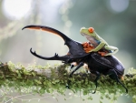 Frog riding a stag beetle