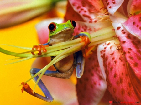Frog - flower, orange, green, frog, broasca, red, yellow