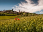 poppies in tuscan wheat fields