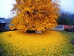 Ginko Tree at Autumn