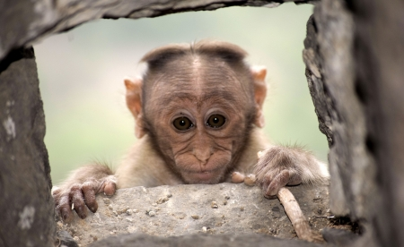Monkey - cute, face, monkey, animal