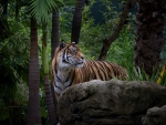 Tiger in Tropical Forest