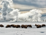 buffalo in yellowstone in winter
