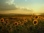 Sunflowers Fields