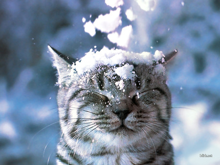 Cat in Snow - feline, cat, snow, head, animal, pet