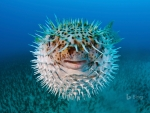 Spot fin porcupinefish near Hawaii