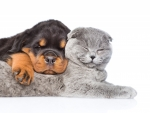 Sleeping cat and puppy
