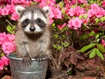 Cute raccoon in garden