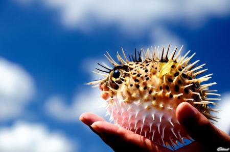 Porcupine fish - thorn, water, fish, hand