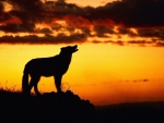 Sunset and wolf