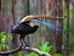 Superb lyrebird in Marysville State Forest  Australia
