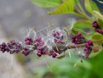 LILAC BUDS WITH DANDYLIONS