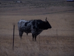 Longhorn near Sonoita, Arizona