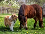 Collie and pony