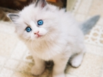 Sweet Blue  Blue Eyed Kitten