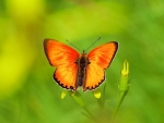 Rare Copper Butterfly