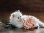 White Kitten with Rose