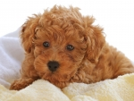 Curly Puppy