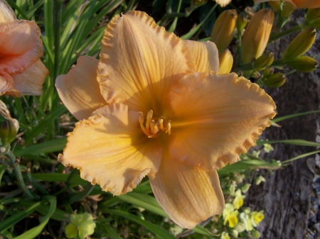 Fancy Daylily early morning - Nature, Flowers, Desert, Mountains