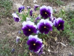Pansies keep reseeding