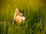husky in the grass