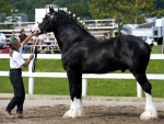 World's Largest Horse F