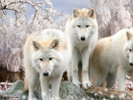 White Wolves Winter