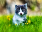 Grey and White Kitten in Grass f
