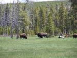 American Bison herd West Yellowstone