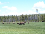 Larger American Bison Herd West Yellowstone