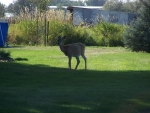 Deer in town Billings, Montana