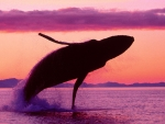 Whale in sunset