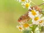 Field Mouse and Daisies