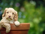 puppy in the pot