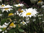 Daisys and Butterfly.