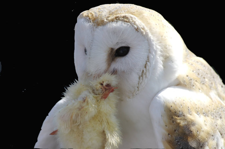 Feeding of a white Owl - white owl, widescreen, wds, owl, feeding