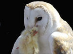 Feeding of a white Owl